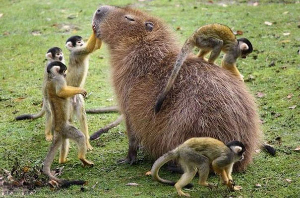 Be Like A Capybara