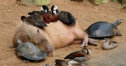 capybara-unusual-animal-friendship-fb__700-png